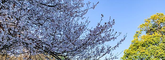 東6番の桜